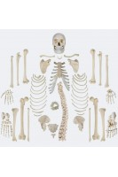 Скелет человека разобранный в натуральную величину (+ диаграмма по костной системе). 1:1