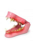 Челюсти и зубы собаки. Анатомия и патология. 1:1