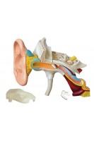 Ухо человека. Анатомическая модель. 22 части