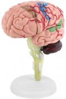 Мозг человека. Разборная цветная анатомическая модель.1:2 (15 частей)