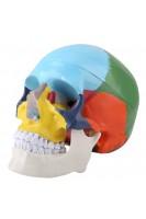 Череп человека цветной. Анатомическая модель 1:1. 3 части ( со съемным сводом и шарнирно-сочлененной нижней челюстью)