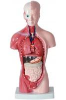 Туловище человека (с внутренними органами) и голова. 1:3. 15 деталей. Высота 28 см.