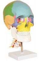 Череп человека цветной с шейными позвонками. Анатомическая модель 1:1. 3 части ( со съемным сводом и шарнирно-сочлененной нижней челюстью)